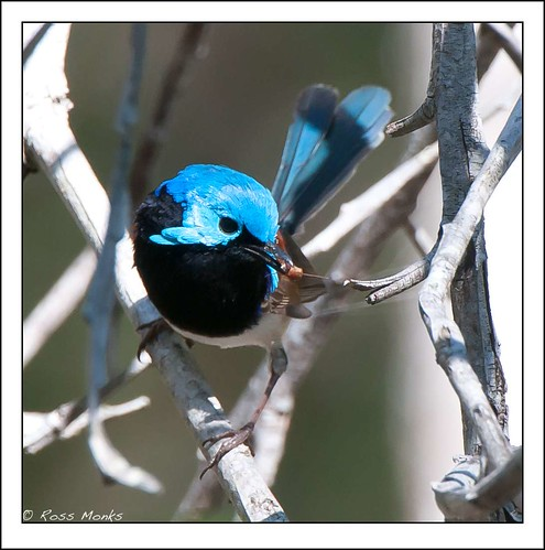 Variegated Fairywren | by Ross_M