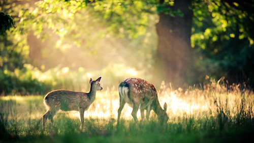 lighting morning trees light summer england sun mist nature misty fog fairytale forest sunrise golden countryside kent woods nikon bokeh wildlife deer explore ethereal rays wonderland storybook magical frontpage 70200 f28 enchanted d3