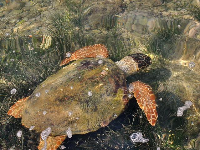 Loggerhead Turtle by the Drapano Bridge in Argostoli