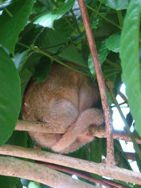 tamanduaí - Cyclopes didactylus
