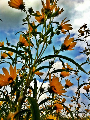 camera apple mac sunflowers sherry wildflowers 4g 2010 iphone shuttersisters 3661days project36612010 project3661yr3 pictureshowapp shutterflyfriends