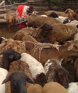 The worm-resistant red Maasai sheep of East Africa | by International Livestock Research Institute