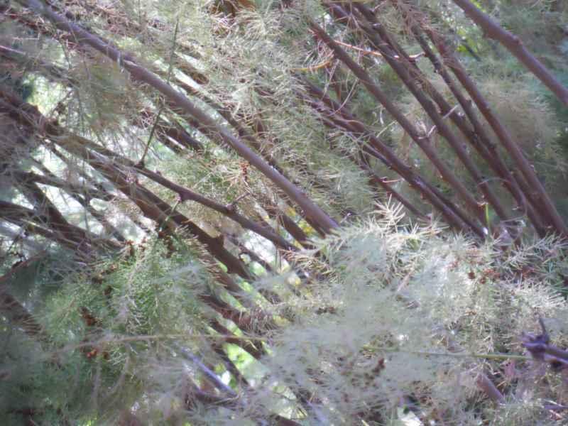 Asparagus scoparius 'Lowe' detalle 3