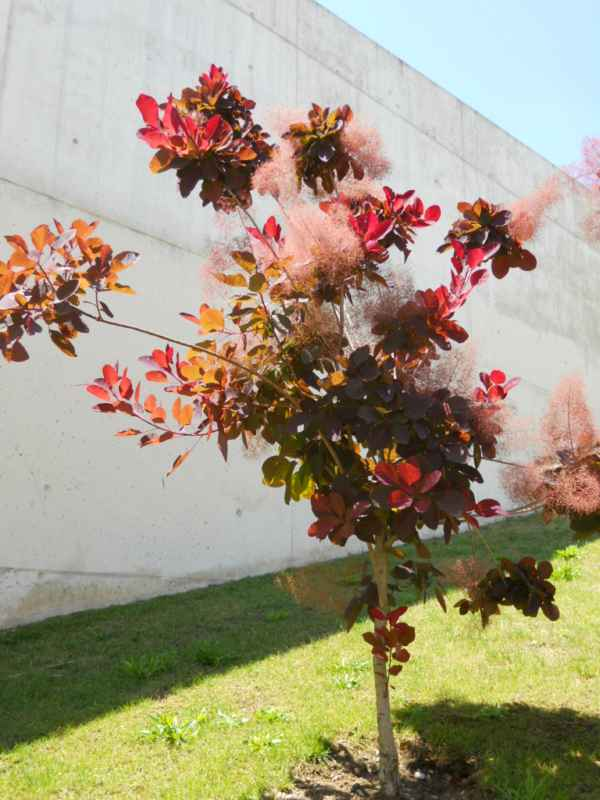 Cotinus coggygria 'Red Beauty' v 4