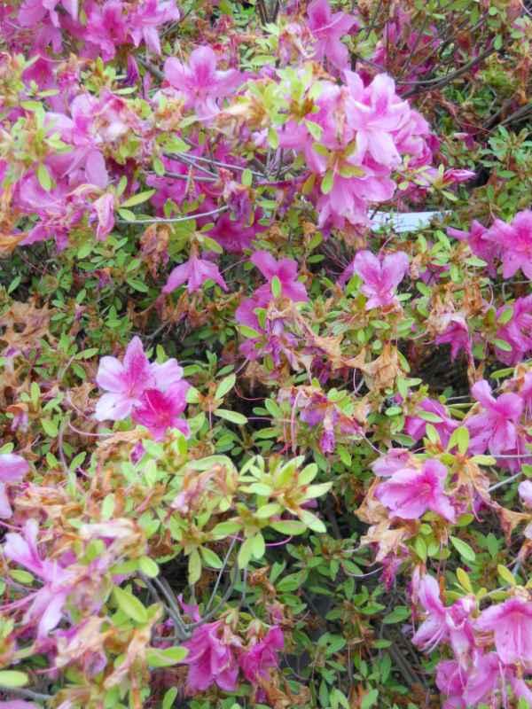 Rhododendron japonicum 'Rosa King' v 2