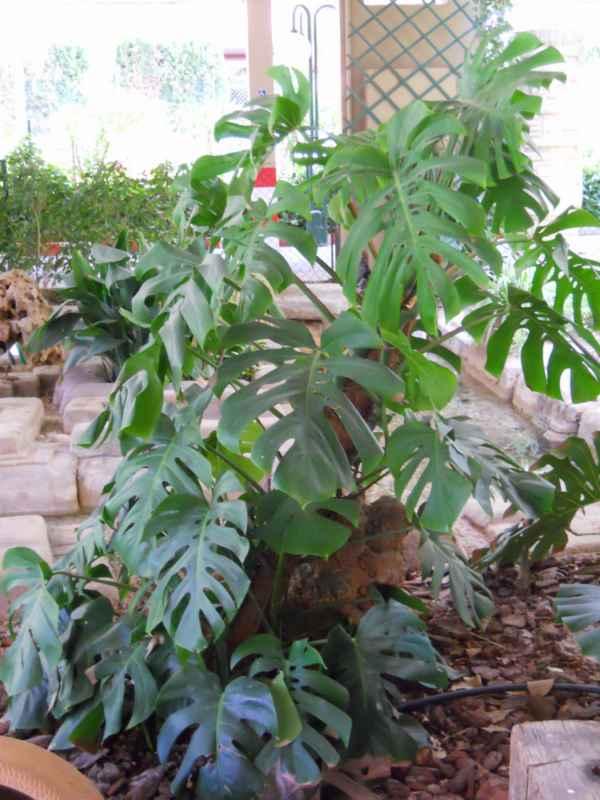 Philodendron pertusum v 1
