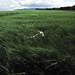walking in barley by hockadilly