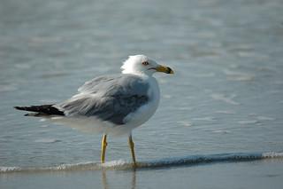 Sea Gull-0621   by MSMcCarthy Photography