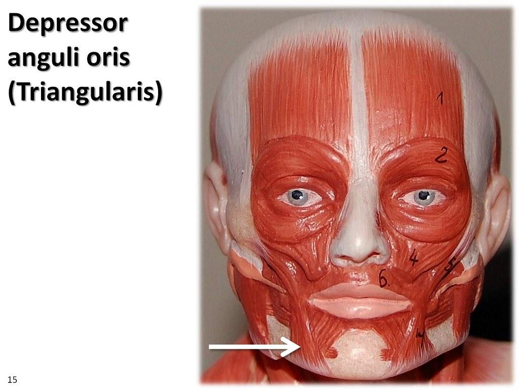Depressor Anguli Oris  Small Model