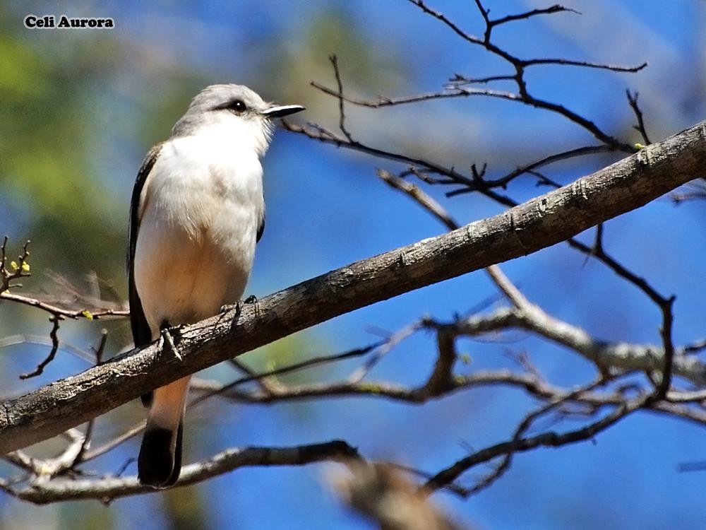 Xolmis velatus ( Noivinha-branca  ) - White-rumped monjita -   DSC_0423