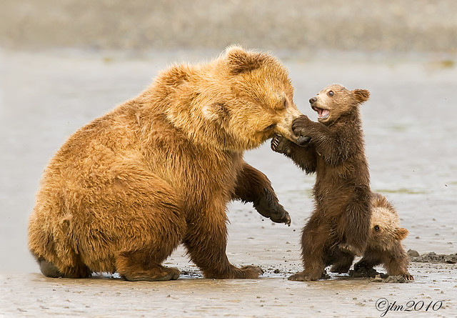 Mother-and-cubs-playing ???