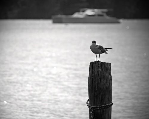 bw bokeh gull © northcarolina pamlicoriver hbw garyburke zuiko70300mm olympuse620 catamaranbokeh