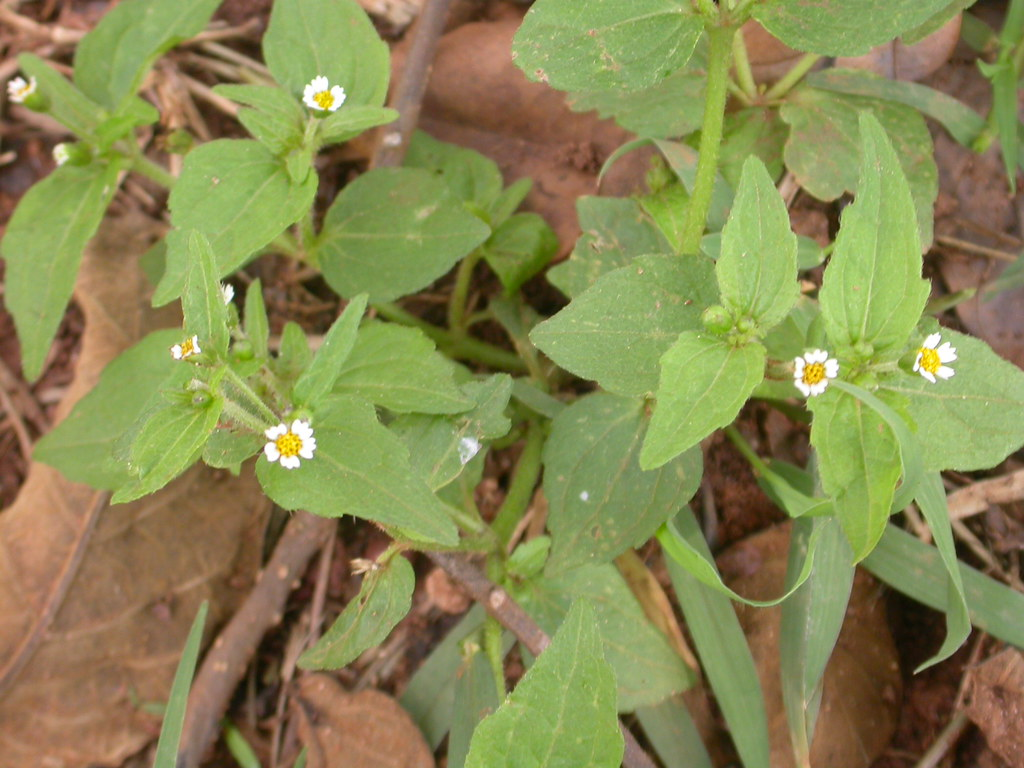 Galinsoga parviflora Cav. (ASTERACEAE)