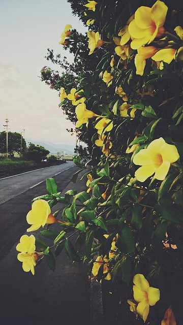 Yellow Island Flower - Faded