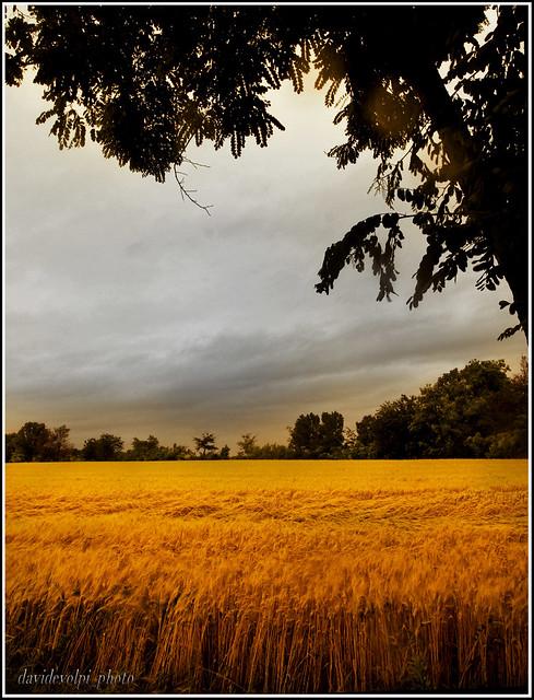 Paesaggi padani - frumento