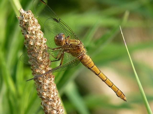 Yellow dragonfly (Orthetrum albistylum - Female)