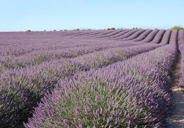 Ondulation - Valensole (Alpes-de-Haute-Provence)