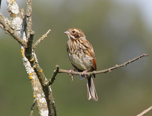 Reed Bunting | by Wild Chroma
