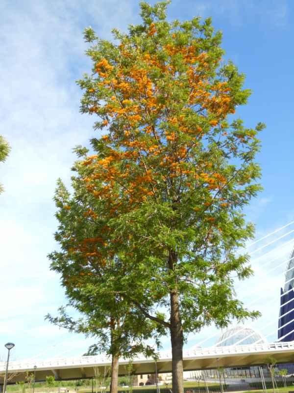 Grevillea robusta árbol v 1