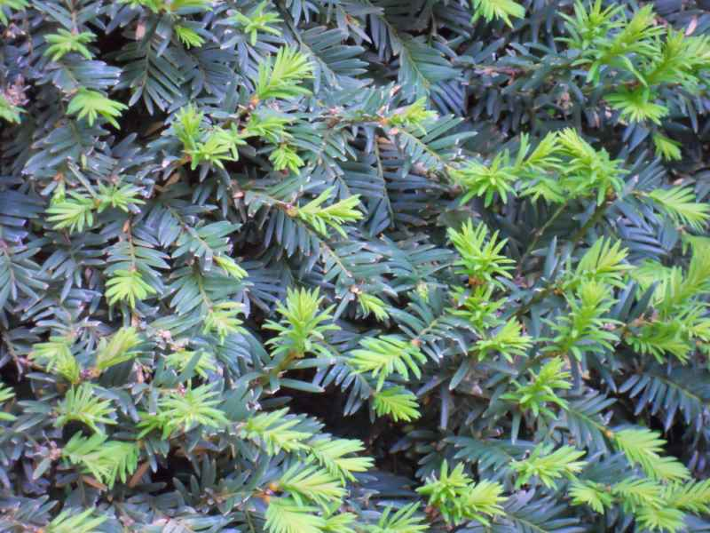 Taxus baccata hojas 5