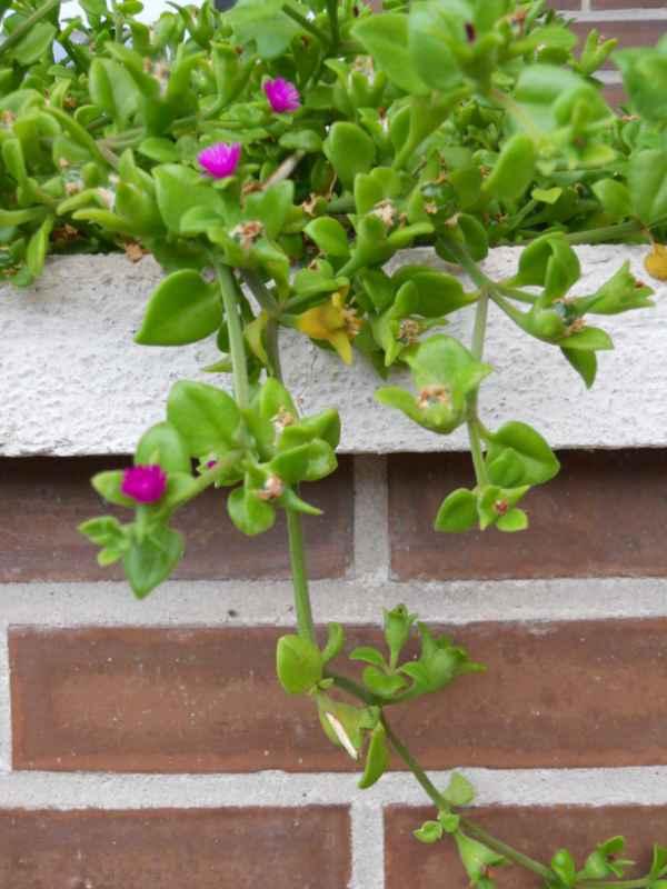 Aptenia cordifolia v 4