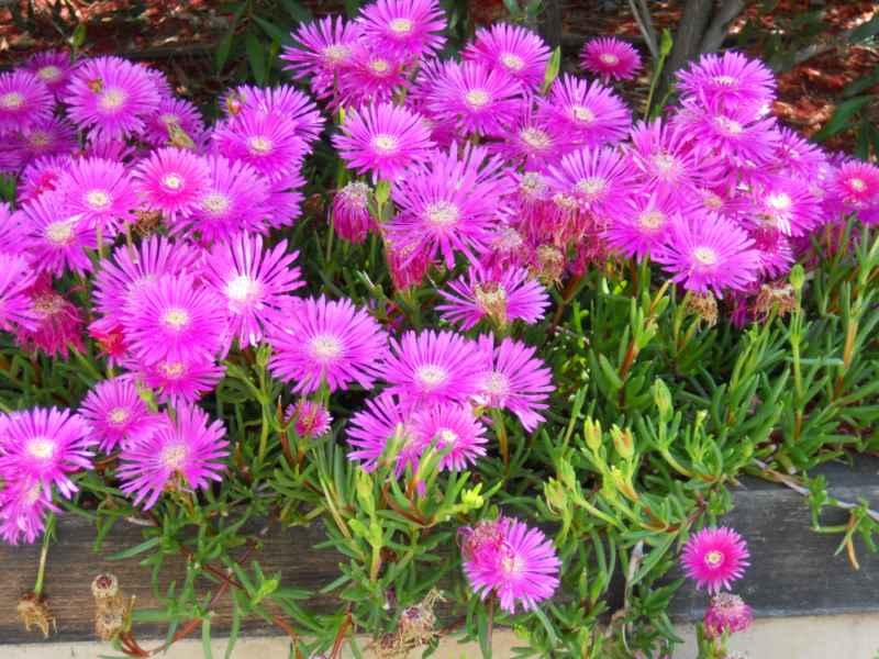Lampranthus spectabilis 2