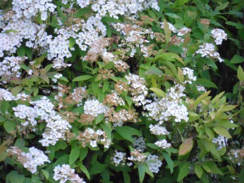 Spiraea japonica detalle 5
