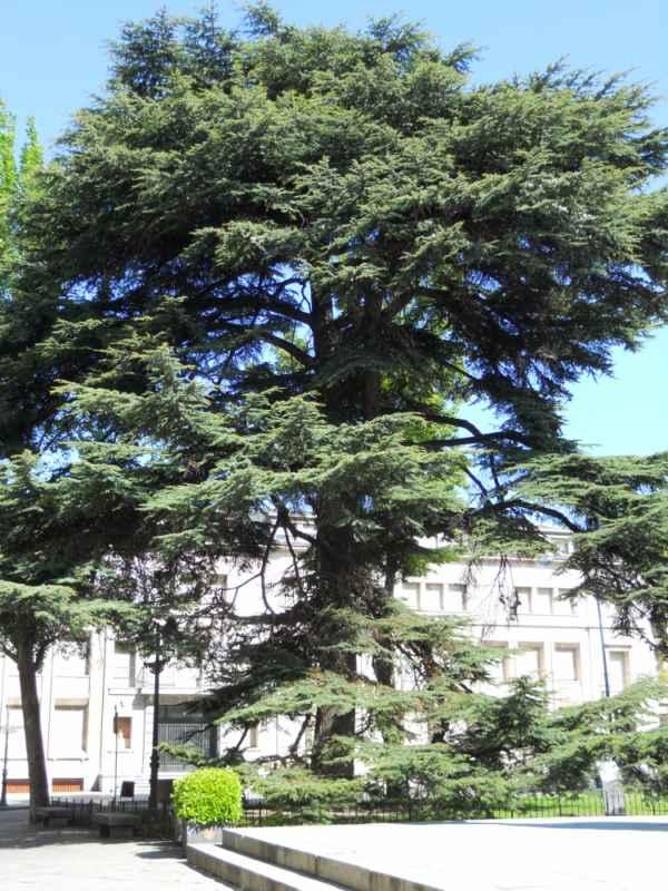 Cedrus libani árbol v 1