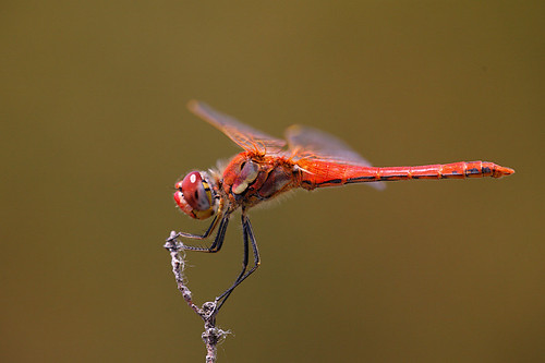 Sympetrum fonscolombii, male | by Erland R.N.