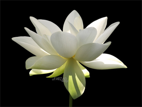 morning summer sun white black flower color macro green nature water yoga tattoo reflections painting whiteflower early key colorful peace waterlily lily lotus painted low touch relaxing calming peaceful meditation therapy healing morningsun wellness 莲花 lotusflower flowerwhite lotuspetal 연꽃 platinumphoto lotuspetals कुंद lotosblume fleurdelotus ハスの花 زهرةاللوتس گللوتوس lotusflowerintheearlymorningsun lotusflowerpetals lotusflowerpetal