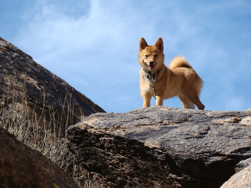 our shiba, taro (@_tar0_) is king of the mountain! | by _tar0_