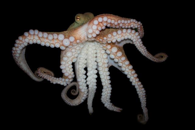 Pinnoctopus cordiformis, Common octopus