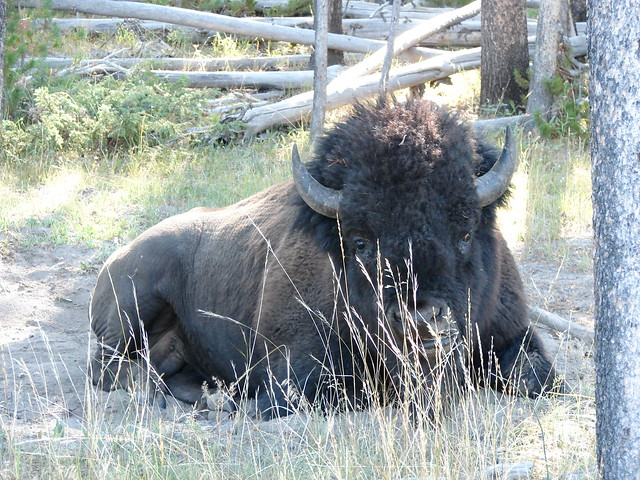 Lone Bison - Yellowstone National Park, Wyoming
