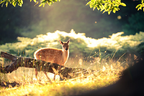 lighting morning summer england sun nature fairytale forest sunrise golden countryside kent woods nikon bokeh wildlife warmth deer ethereal wonderland storybook magical 70200 f28 enchanted d3