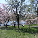 Cherry blossoms in Druid Hill Park