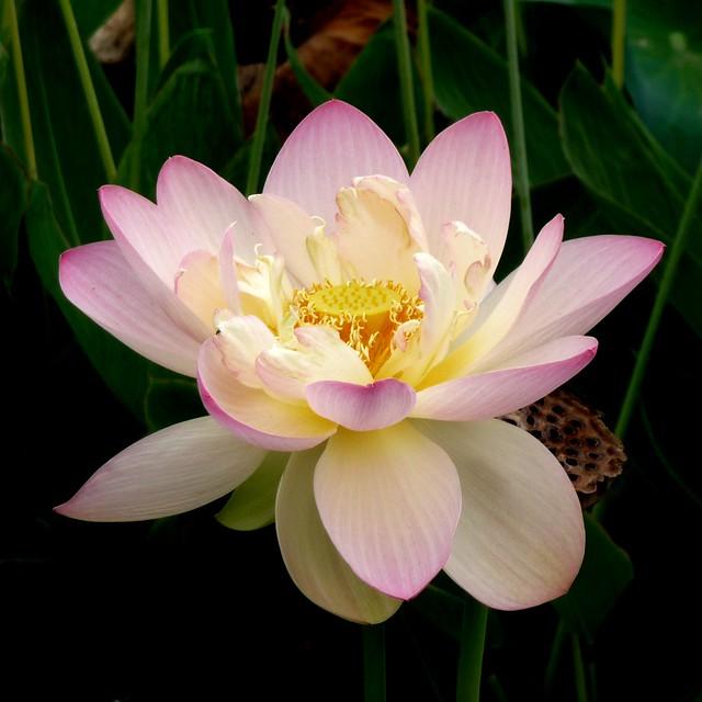 lotus unfolded
