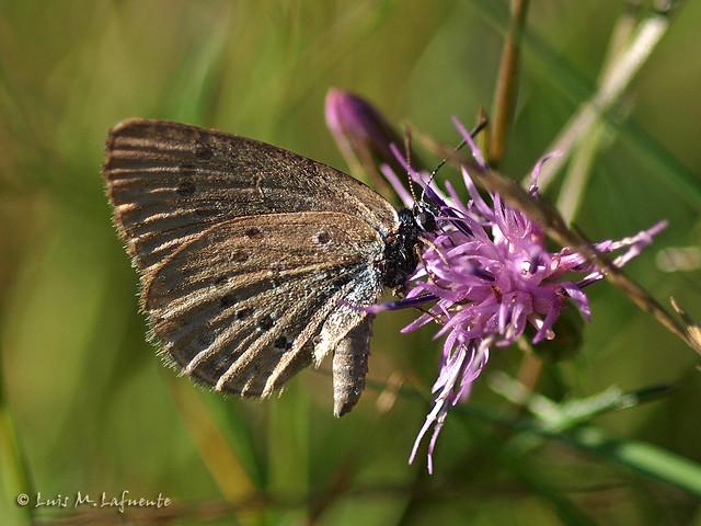 Maculinea alcon - parece hembra, ahora Phengaris