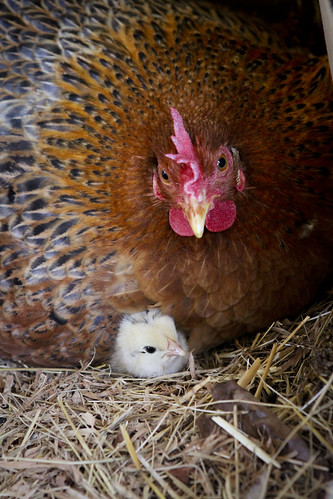 Hen and chick | by ZoeShuttleworth