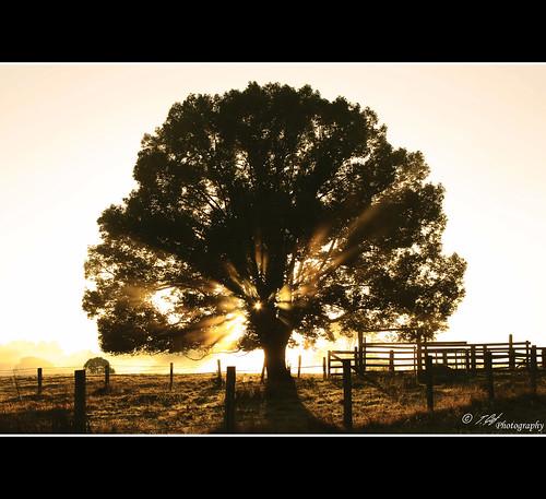light tree rural sunrise rays paddock