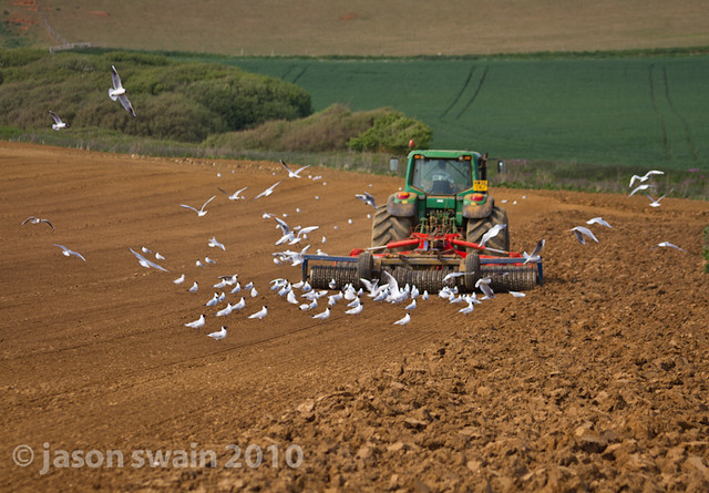 When the seagulls follow the tractor. Bastardised Farming idioms #1