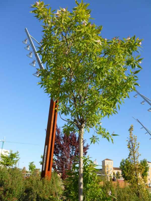 Chitalpa tashkentensis 'Summer Bells' v 2