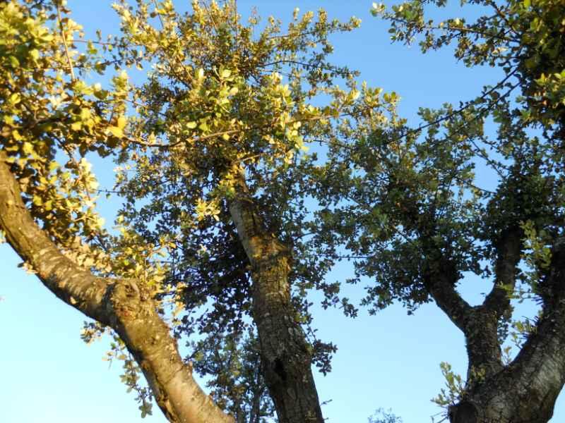Quercus suber 3