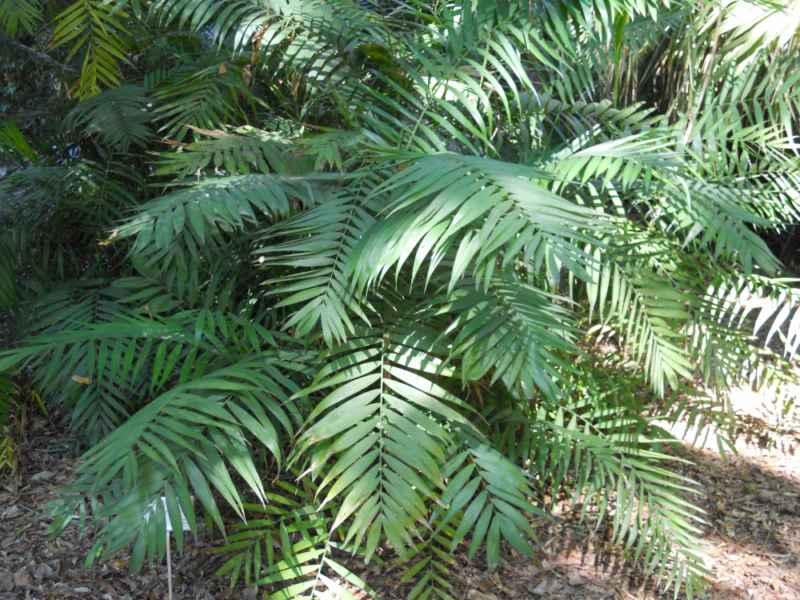 Chamaedorea pochutlensis 2
