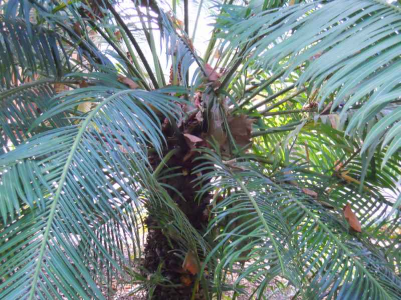 Cycas circinalis copa 3