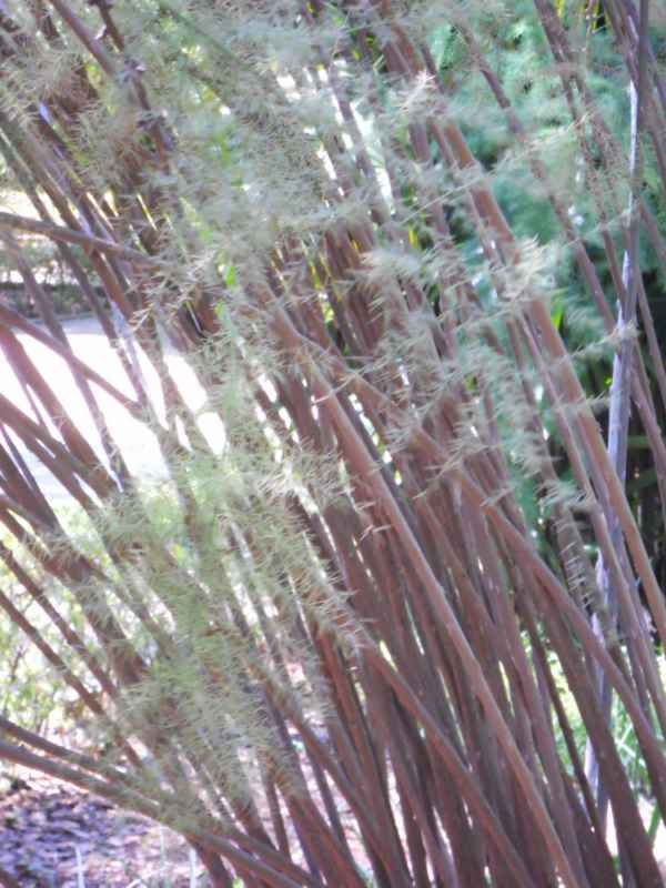 Asparagus scoparius 'Lowe' detalle v 2