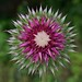 Flickr photo 'One last view of Musk or Nodding Thistle' by: DrStephenD.