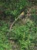 白冠长尾雉 First target! Reeves's Pheasant by China Wildtour