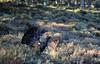 Capercaillie (Tetrao urogallus) by jonnobird (Catching up after Cyprus)