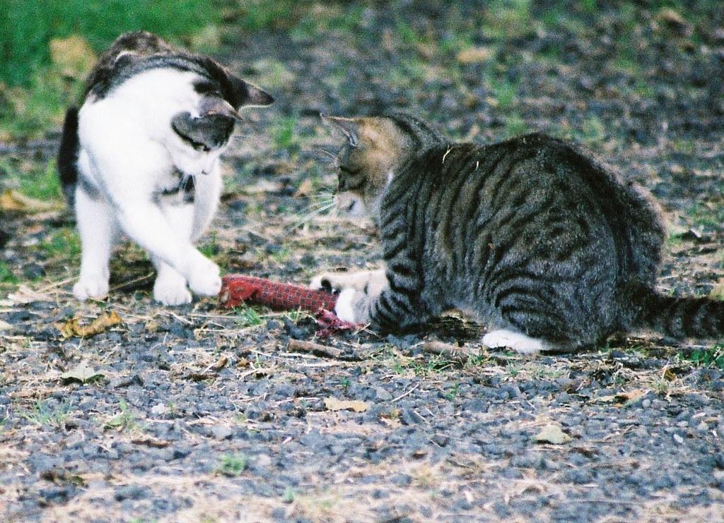 Feral Cats At Play by Chriss Pagani