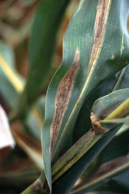 Turcicum leaf blight on maize